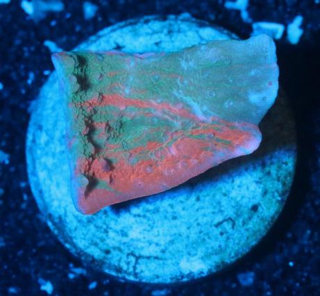 画像1: 【RARE】Motipora foliosa Bicolor 2 (1)