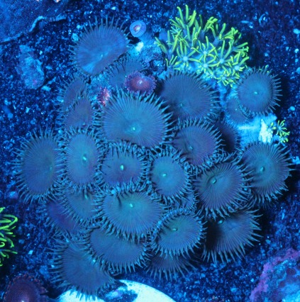 画像1: coral盆栽 4 (1)