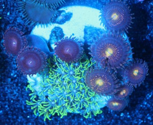 画像1: coral盆栽 5 (1)