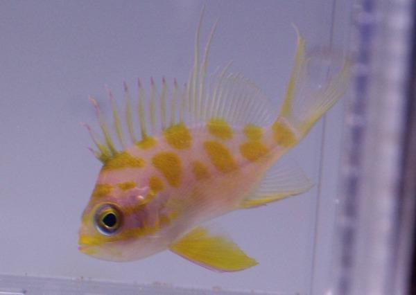 画像1: No.4 マダラハナダイ 5cm前後 yellow (1)