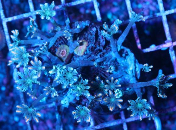 画像1: 激RARE ツツウミヅタ オレンジストライプ コロニー 3 (1)