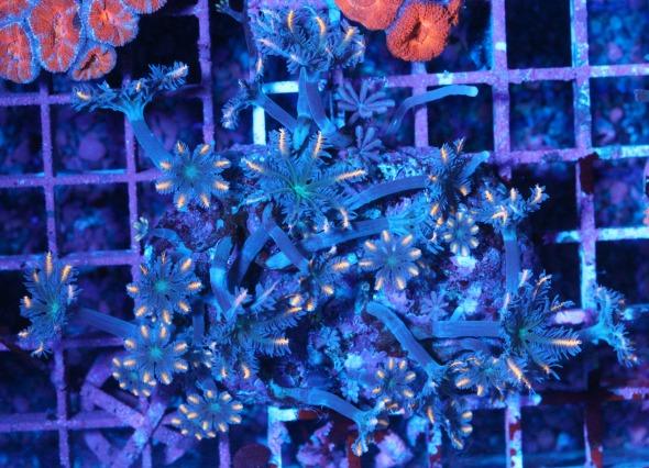 画像1: 激RARE ツツウミヅタ オレンジストライプ コロニー 1 (1)