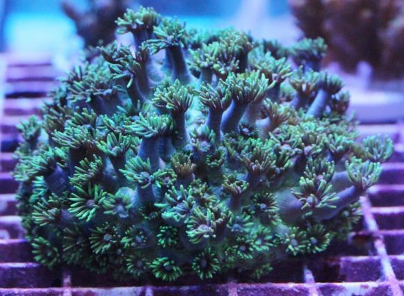 コモチハナガササンゴ メタリックグリーン