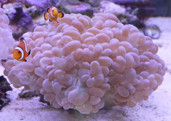 バブルコーラル ホワイト カラーXXLサイズ 特大サイズ 大型サンゴ