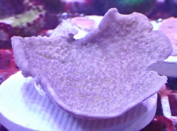 ウスコモンサンゴ パープルポリプ