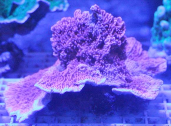 チヂミウスコモンサンゴ SPS