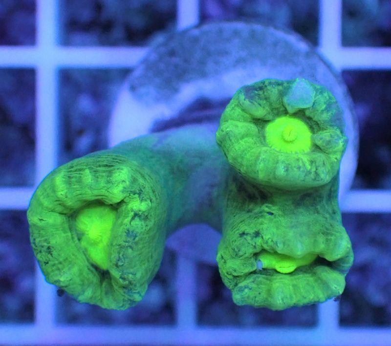 ネジレタバネサンゴ グリーン