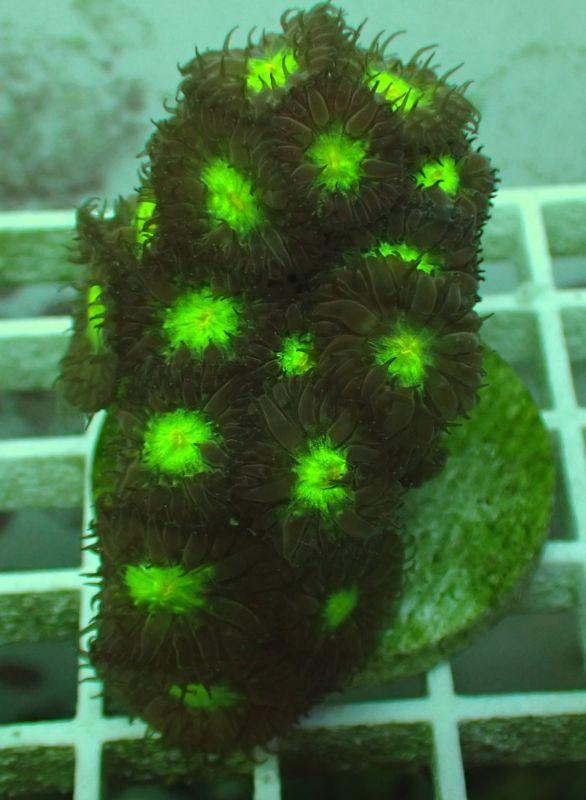 カビラタバサンゴ