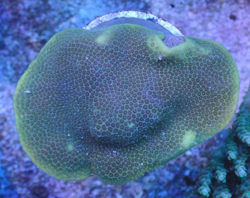 ハマサンゴ フラグ